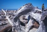 Drift logs on Oregon coast