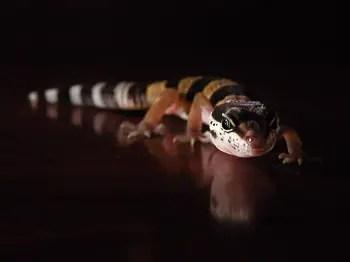 Leopard Gecko Juvenile