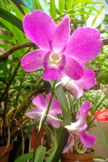A fllowering orchid, one of my late grandpa's collection.