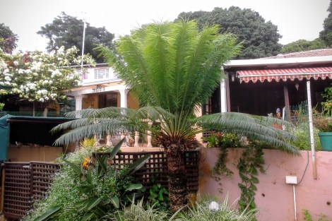 A Japanese cycad with a crown of new leaves