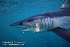 Requin mako (Isurus oxyrinchus)