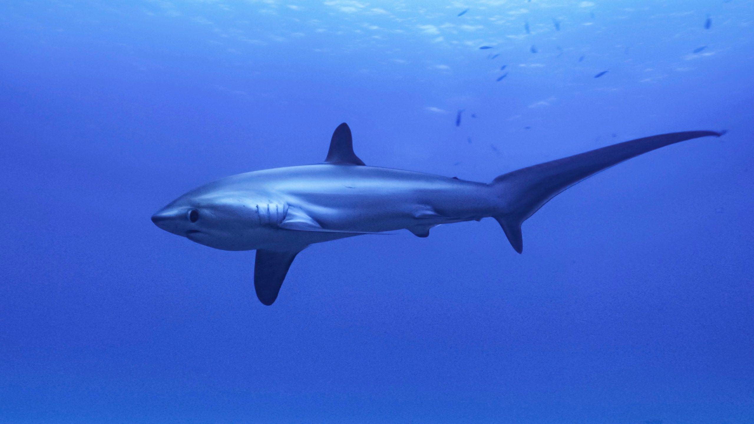 Requin renard commun (Alopias vulpinus)