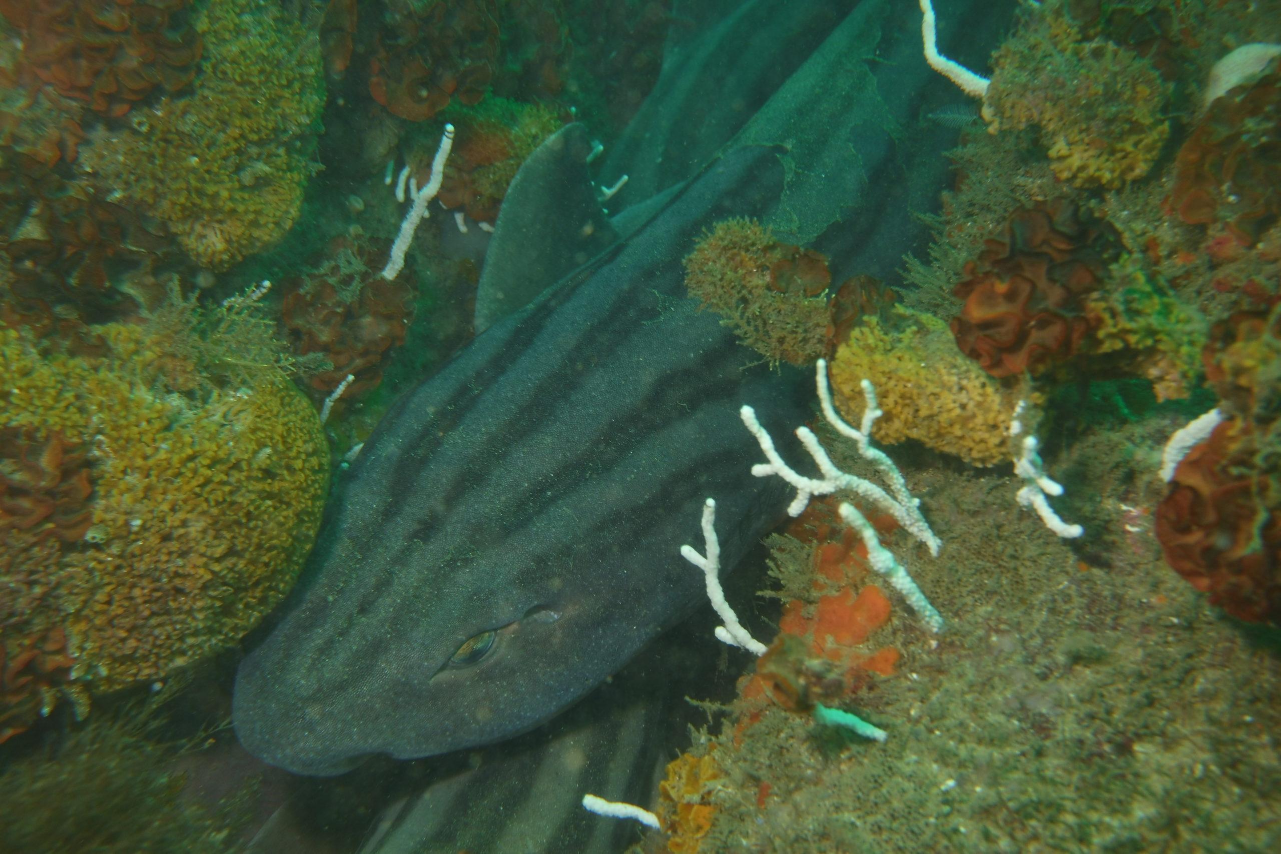 Requin pyjama (Poroderma africanum)