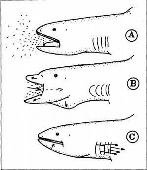 Schéma décomposant les 3 temps du mouvement de chasse du requin grande-gueule