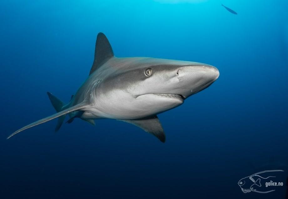 Requin gris (Carcharhinus plumbeus)