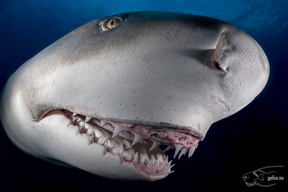 Cours de biologie sur les dents de requin