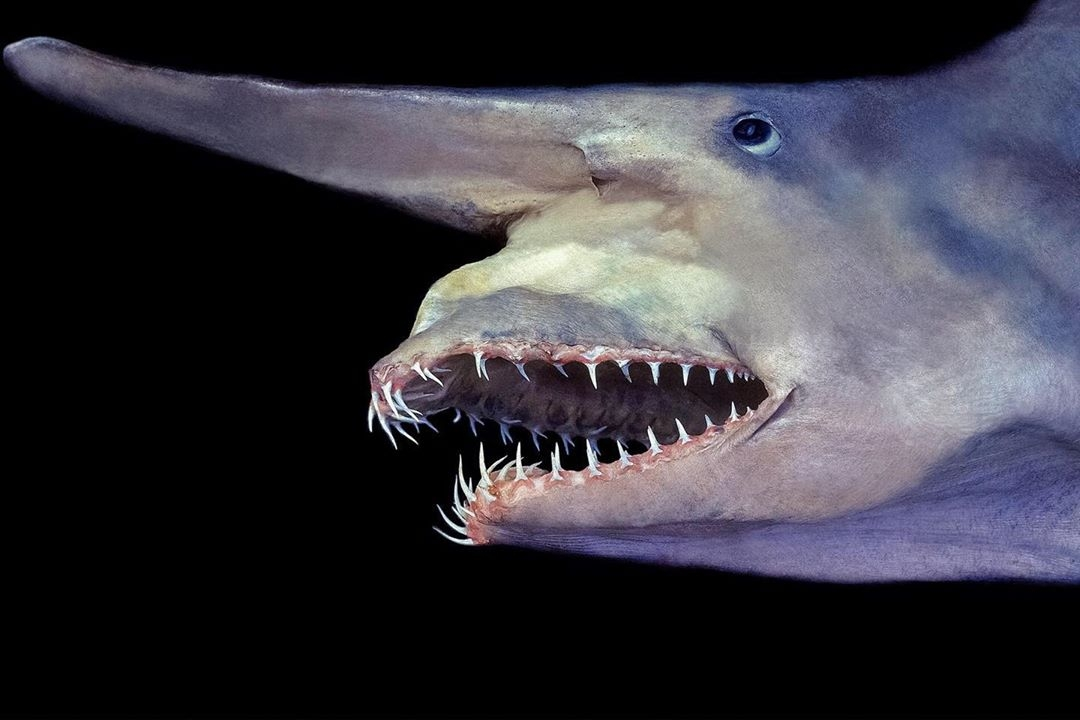 Le requin qui a la machoire la plus rapide des océans (le requin lutin)