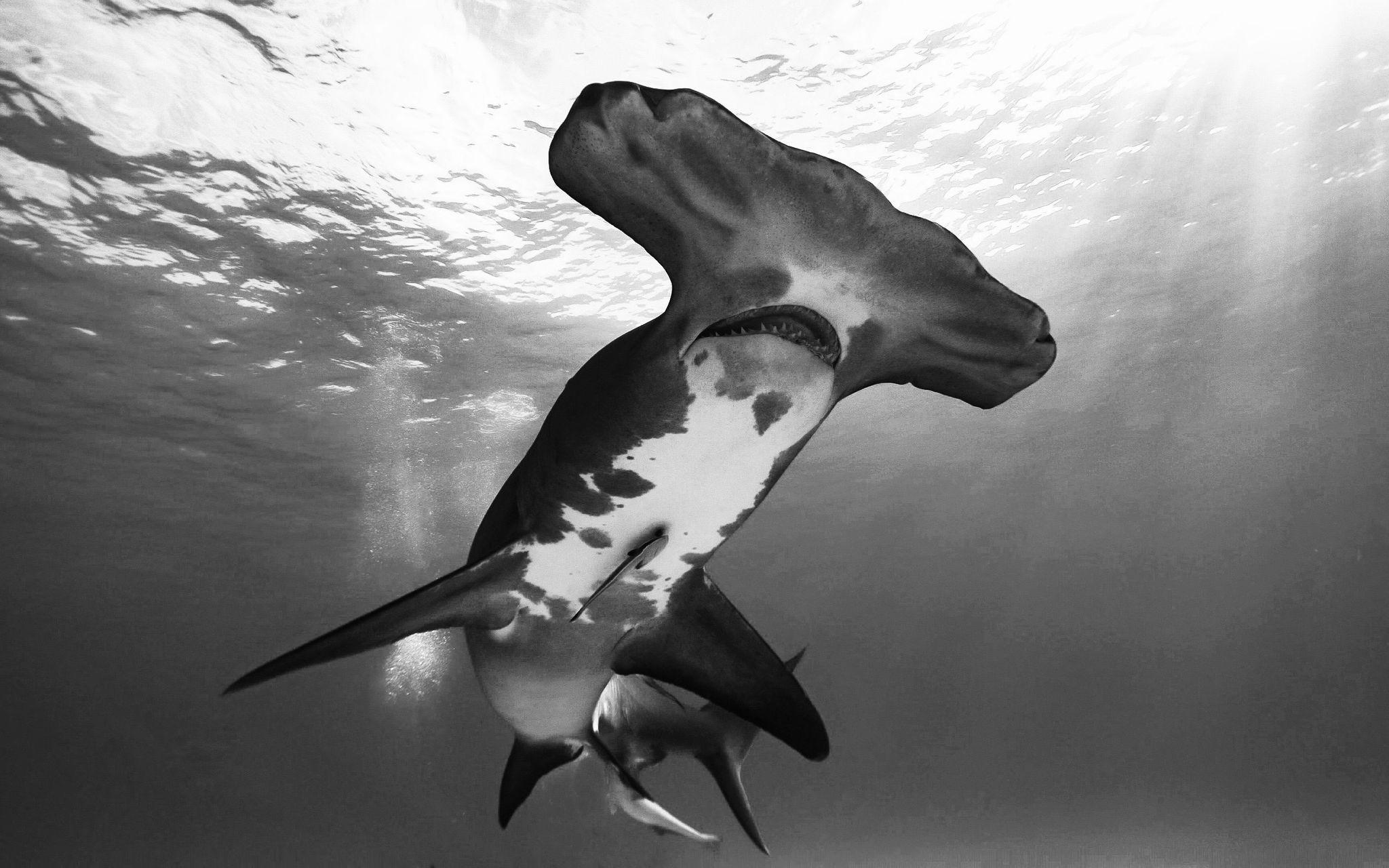 La famille de requin la plus marteau !