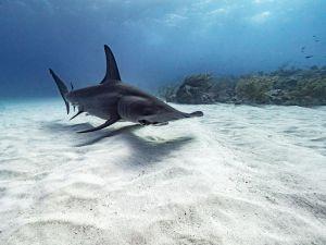 Grand requin-marteau (Sphyrna mokarran)