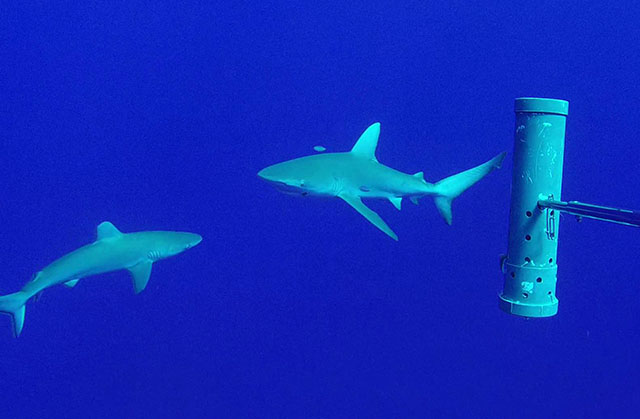 Requin des Galapagos (Carcharhinus galapagensis)