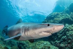 Requin féroce (Odontaspis ferox)
