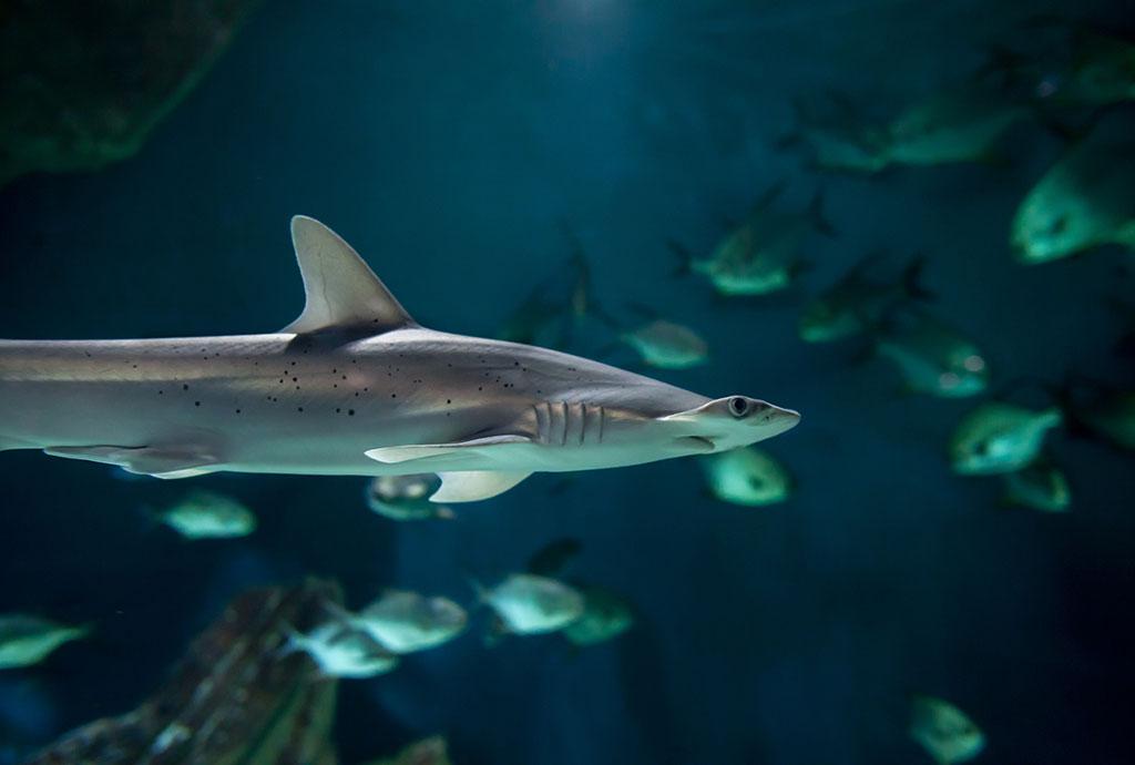 Requin marteau tiburo (Sphyrna tiburo)