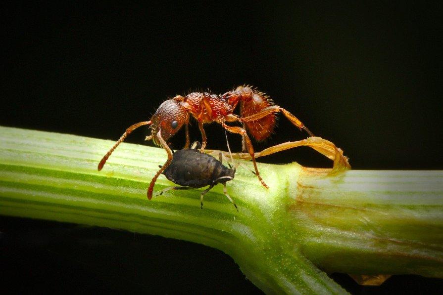 Love story entre fourmi et puceron