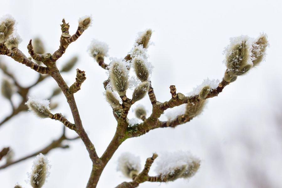 Bourgeons en hiver