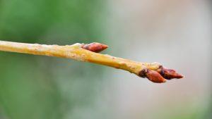 Bourgeons cerisier japonais