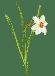 Narcisse - dessin botanique