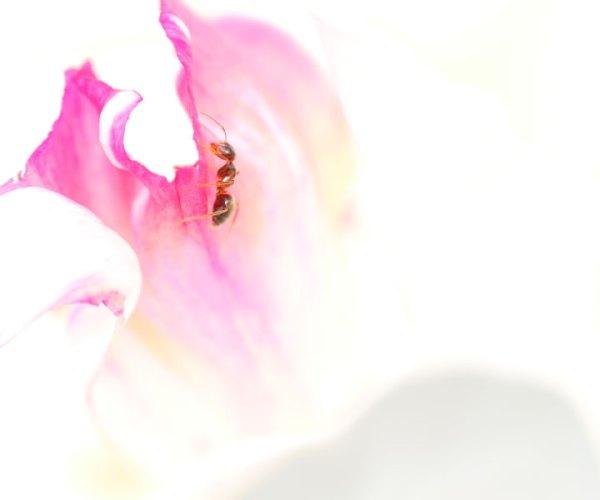 pivoine et fourmis