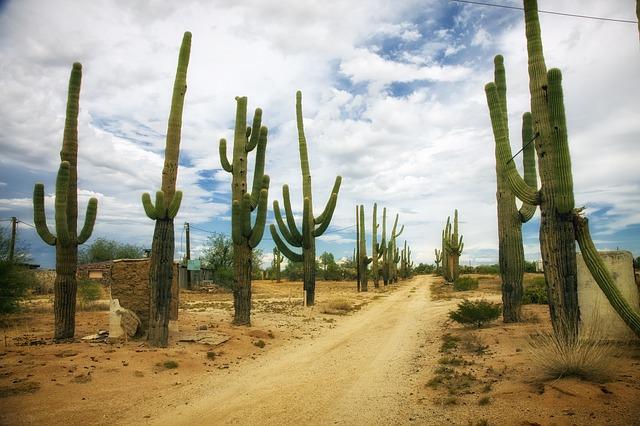 cactus dans le désert