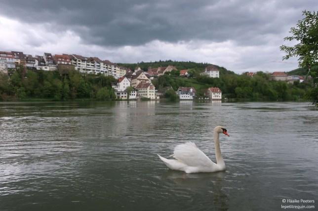 Rhein (Le petit requin)