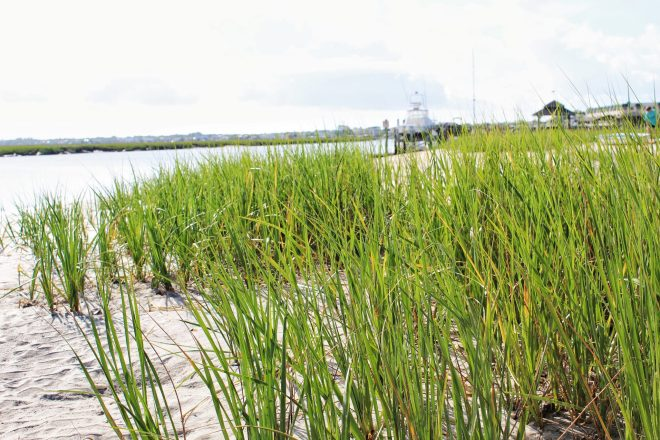 Beach grass on Edisto Island.