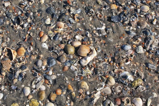 Shells on Edisto Island.