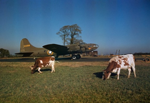 Deux vaches qui broutent l'herbe devant un avion de guerre bombardier