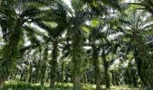 Bientôt, les palmiers ivoiriens produiront de l'électricité