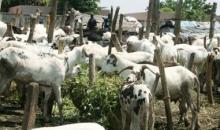 Côte d'Ivoire : le prix des moutons à la bourse de tous les musulmans#Tabaski