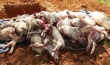 Côte d'Ivoire : 27 000 porcs abattus pour accélérer l'éradication de la peste porcine d'origine africaine #RégionduPoro