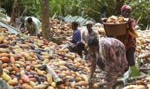 [Côte d'Ivoire/Cacao-culture] Le prix du kilogramme passe à 1000 F CFA pour la campagne 2020 – 2021