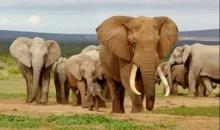 [Côte d'Ivoire/Braconnage] Les éléphants d'Afrique, vers une extinction programmée ?