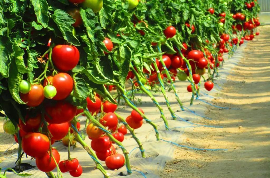 Production importante de tomates
