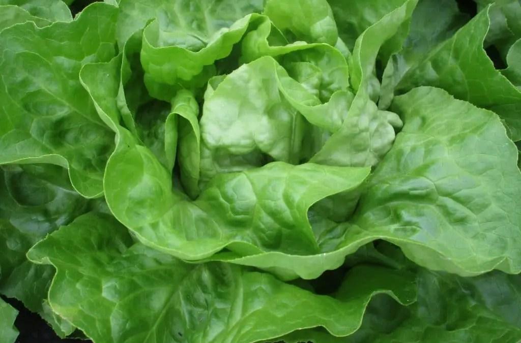 Production importante de salades à manger