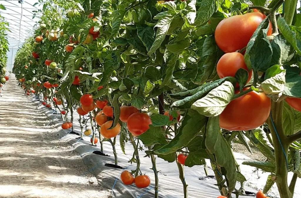 La production de tomates augmente