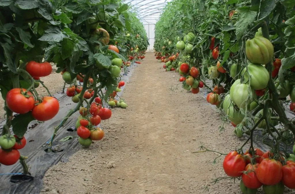 Production importante de tomates