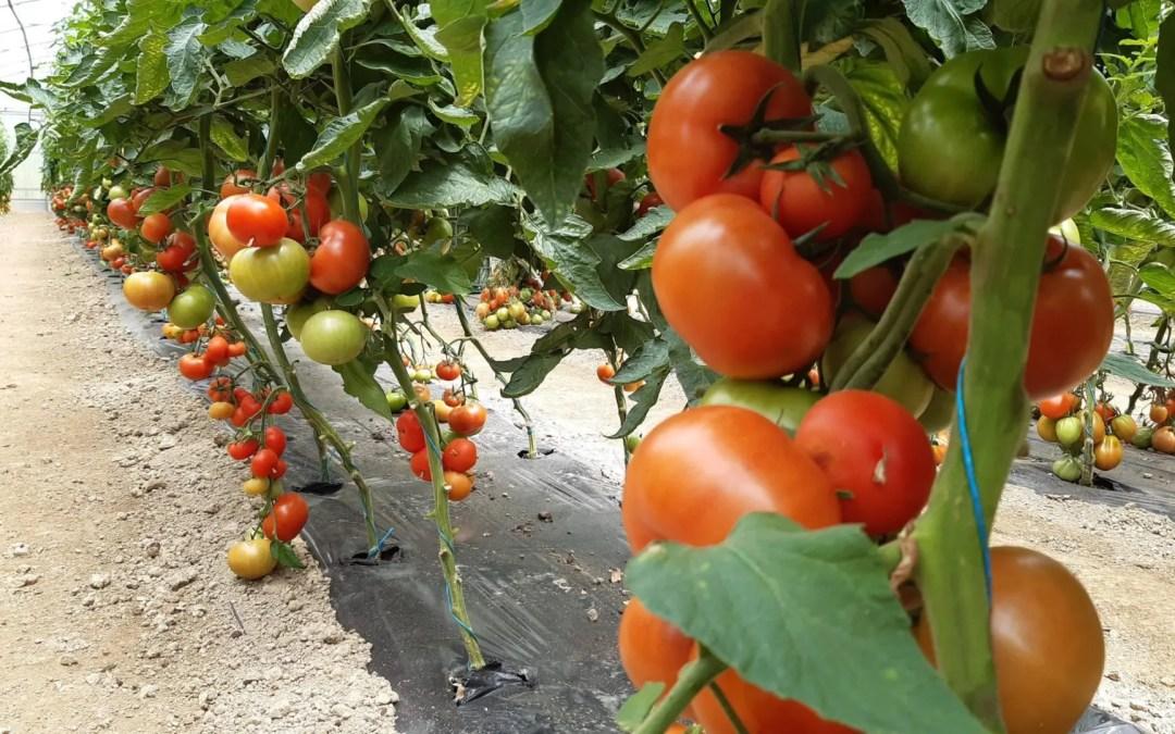 le 30 juin : production de tomates