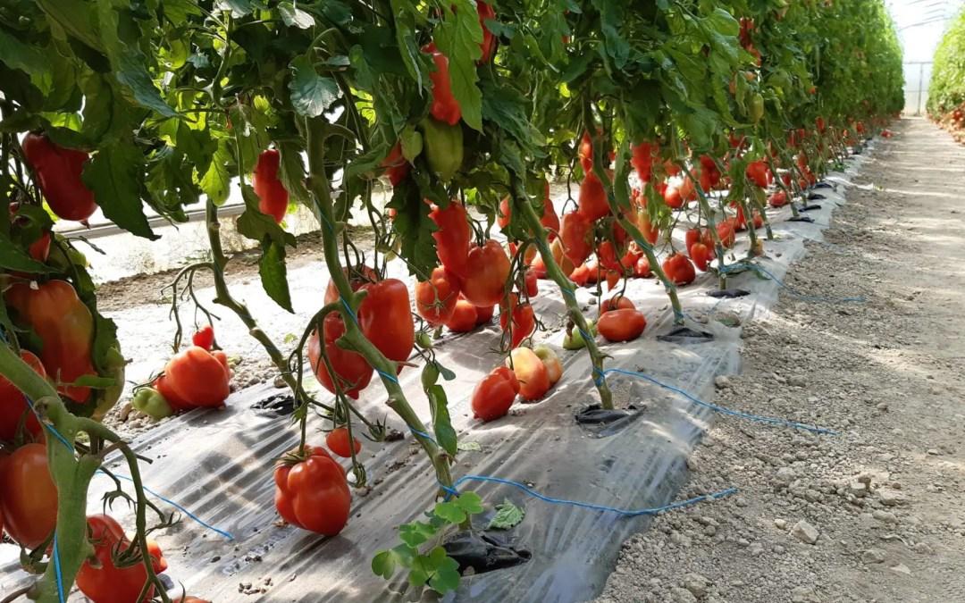 Info sur la production de tomate