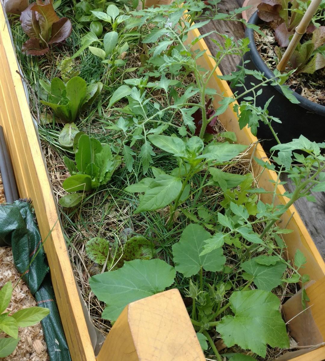 Jardinière plantée, tomate, poivron, laitue