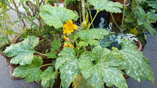 courgette-tardive-potager-pot-fleurs