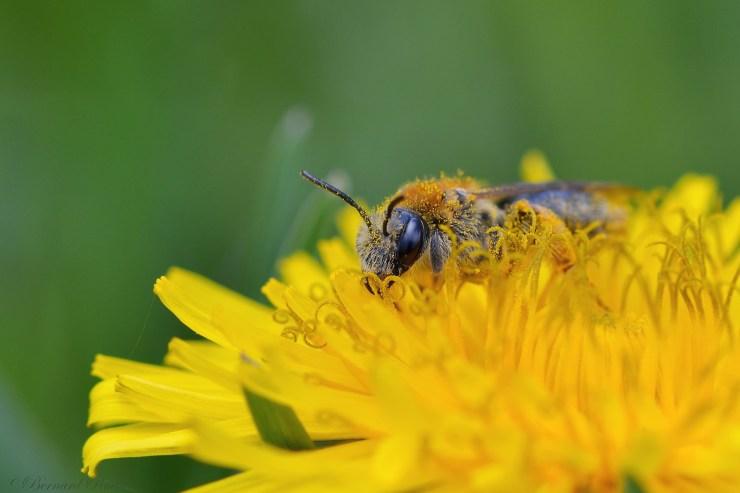 abeille-solitaire-pissenlit-permaculture-urbaine