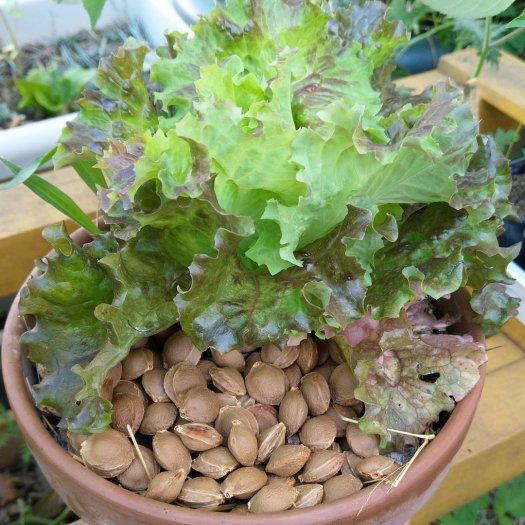culture de salade en pot de fleurs #permaculture urbaine