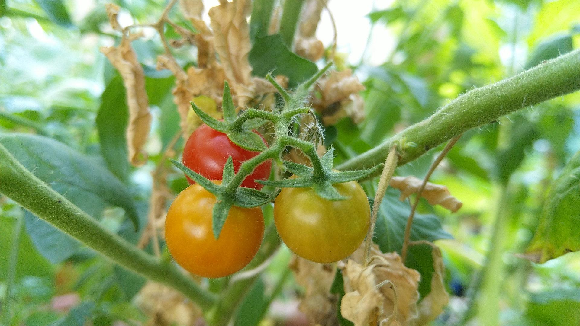 comment-bien-cueillir-tomate-permaculture