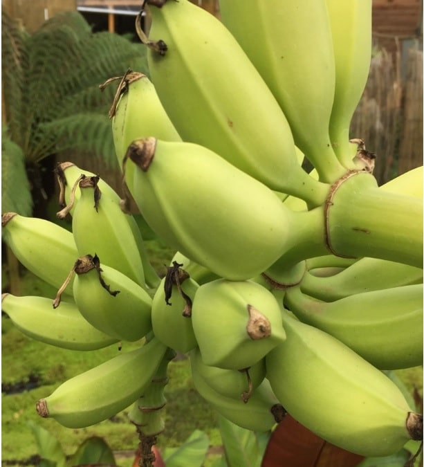 banane permaculture