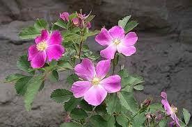 wild-rose-flower