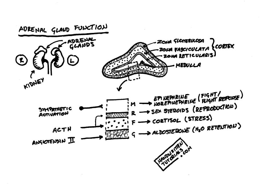 diagram of adrenal glands