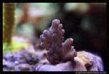 bouture acropora sp