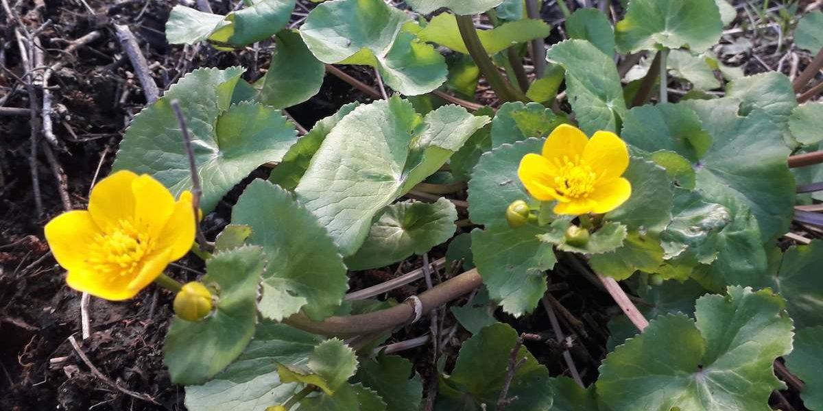 populage des marais en fleur