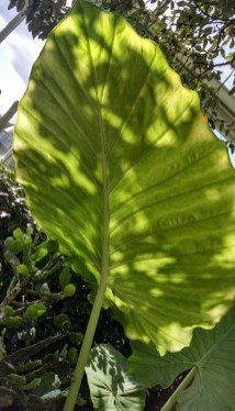 A huge leaf at the NY Botanical Garden