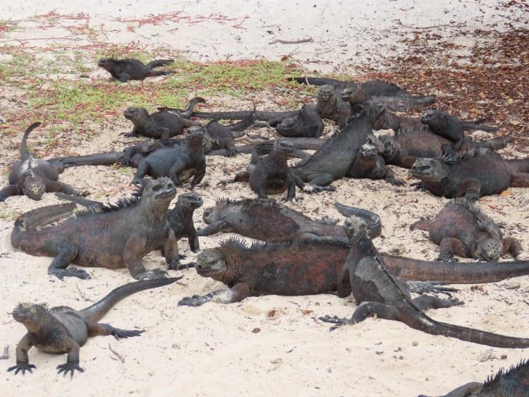 Iguanas on the beach.
