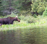 A moose browsing along the shore. August 2002